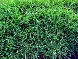buckwheat hairy vetch flowers winter rye - Winter Rye